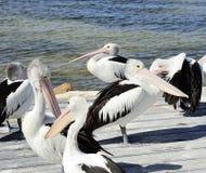 Pelícanos australianos, isla del canguro Fotografía de archivo