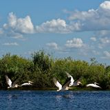 Pelícanos blancos imagenes de archivo