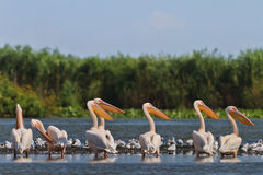 Pelícanos blancos Imagen de archivo