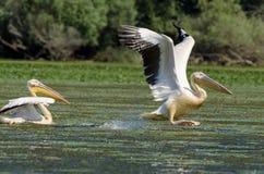 Pelícanos blancos Fotos de archivo libres de regalías