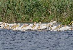 Pelícanos blancos Foto de archivo libre de regalías
