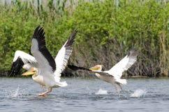 Pelícanos blancos Fotografía de archivo