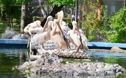 Pelícanos blancos Fotografía de archivo libre de regalías