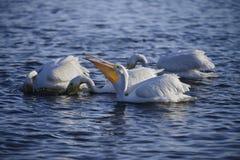Pelícanos blancos Foto de archivo