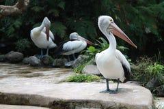 Pelícanos blancos Fotos de archivo