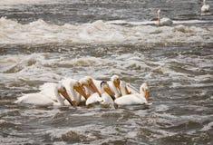 Pelícanos blancos americanos Foto de archivo libre de regalías