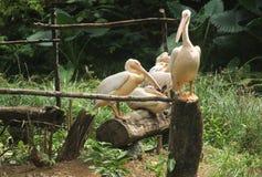 Pelícanos blancos asiáticos jovenes -11 Fotografía de archivo libre de regalías
