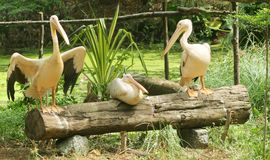 Pelícanos blancos asiáticos jovenes -13 Imagen de archivo