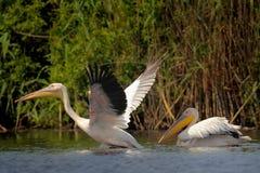 Pelícanos blancos en el agua Imagen de archivo libre de regalías