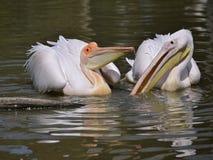 Pelícanos blancos en el agua Imagen de archivo