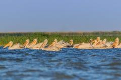 Pelícanos blancos en el delta de Danubio, Rumania Imagen de archivo libre de regalías