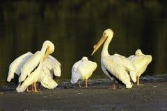 Pelícanos blancos en un banco de arena Fotos de archivo libres de regalías