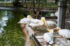 Pelícanos blancos hermosos Fotos de archivo libres de regalías
