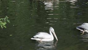Pelícanos blancos que flotan en el lago del parque almacen de video