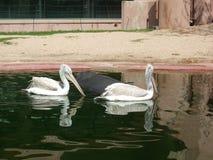 Pelícanos blancos que nadan en el agua en el parque zoológico de Amberes Fotos de archivo libres de regalías