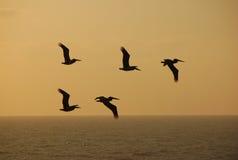 Pelícanos contra puesta del sol Imágenes de archivo libres de regalías