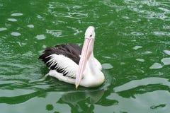 Pelícanos criados que nadan en el agua en el lago Imagenes de archivo