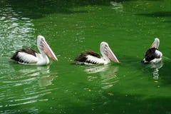 Pelícanos criados que nadan en el agua en el lago Foto de archivo libre de regalías