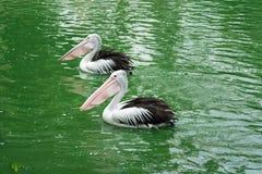 Pelícanos criados que nadan en el agua en el lago Imágenes de archivo libres de regalías