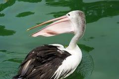 Pelícanos criados que nadan en el agua en el lago Imagen de archivo