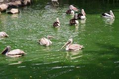 Pelícanos criados que nadan en el agua en el lago Fotografía de archivo libre de regalías