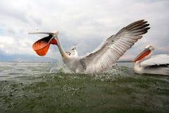 Pelícanos dálmatas Fotografía de archivo libre de regalías