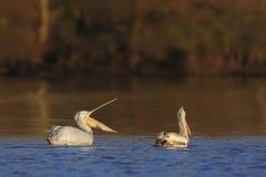 Pelícanos dálmatas en el agua Fotografía de archivo