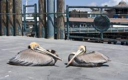 Pelícanos de Brown Imagenes de archivo