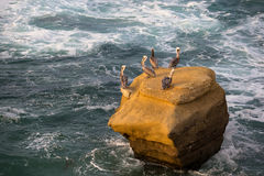 Pelícanos de Brown Fotos de archivo