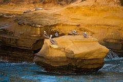 Pelícanos de Brown Foto de archivo