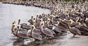 Pelícanos de Brown Fotografía de archivo libre de regalías