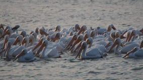 Pelícanos de la migración en el lago de LSU