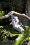 Pelícanos de los pájaros Imagen de archivo libre de regalías