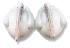 Pelícanos de los pares Imágenes de archivo libres de regalías