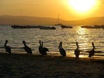 Pelícanos de Perú en la puesta del sol Fotos de archivo