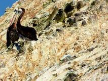 Pelícanos de Peruan fotos de archivo