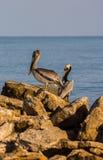 Pelícanos del mar en el filón Imágenes de archivo libres de regalías