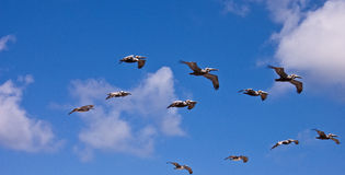 Pelícanos del vuelo Fotografía de archivo