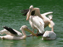 Pelícanos, Delhi, la India Fotografía de archivo