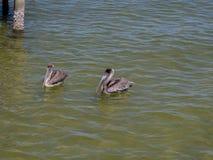 Pelícanos duales Fotos de archivo