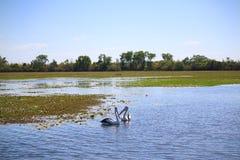 Pelícanos en el agua amarilla Billabong Imagen de archivo libre de regalías
