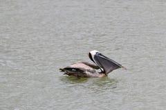 Pelícanos en el agua con los pescados Imagen de archivo