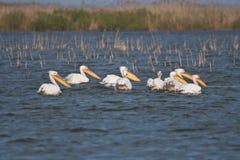 Pelícanos en el delta de Danubio Fotos de archivo