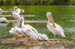 Pelícanos en el delta de Danubio Fotos de archivo libres de regalías