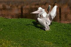 Pelícanos en el lago Fotos de archivo libres de regalías