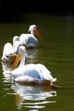 Pelícanos en el lago Fotos de archivo
