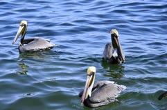 Pelícanos en el mar del Caribe Fotografía de archivo