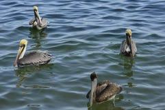 Pelícanos en el mar del Caribe Fotografía de archivo libre de regalías