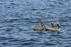 Pelícanos en el mar del Caribe Foto de archivo libre de regalías