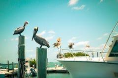 Pelícanos en el muelle Imagen de archivo libre de regalías
